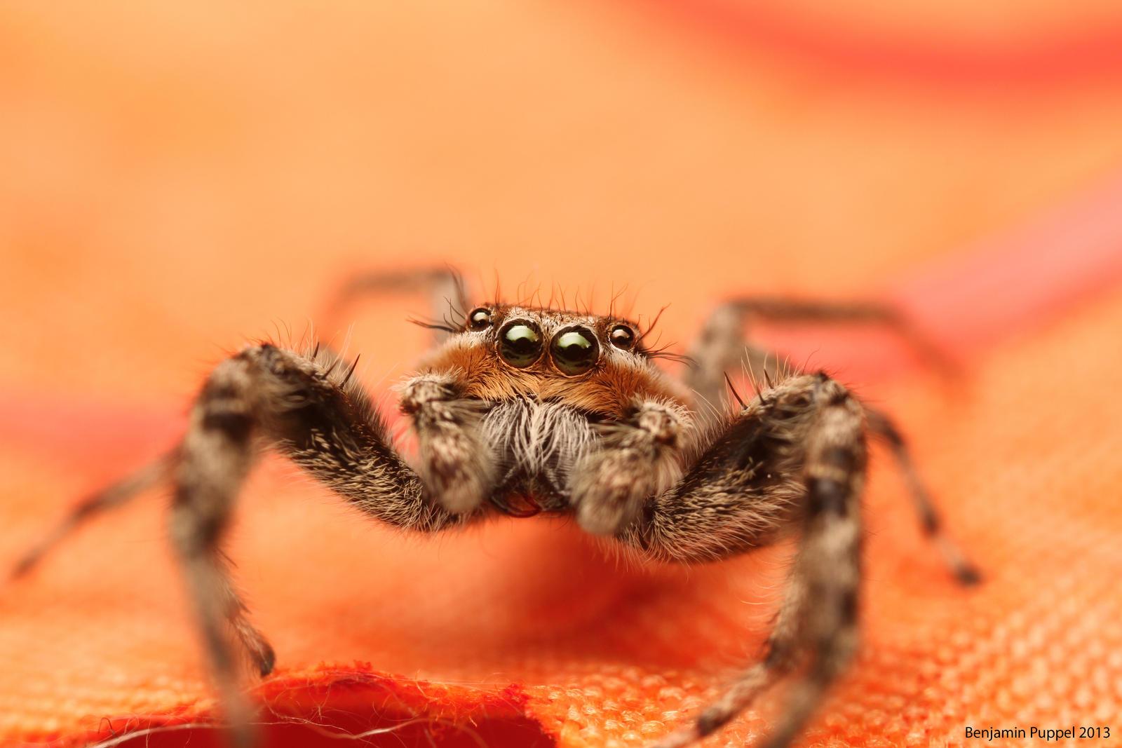 Platycryptus undatus Jumping Spider by BenjaminPuppel