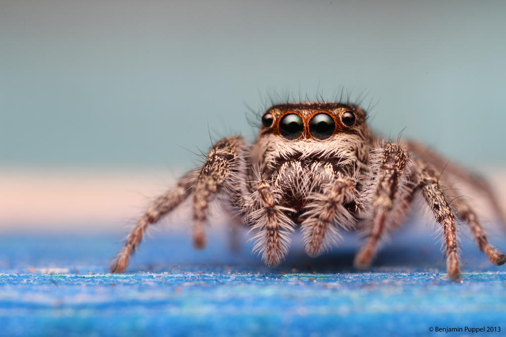 Jumping Spider by ~BenjaminPuppel