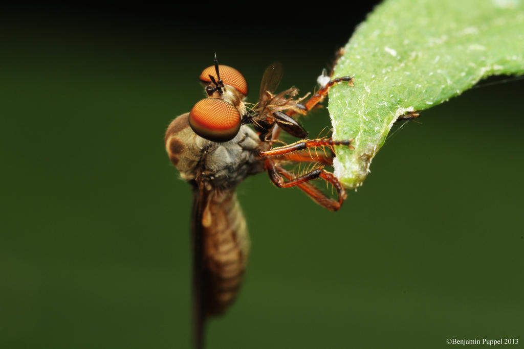 Robberfly Eating by BenjaminPuppel