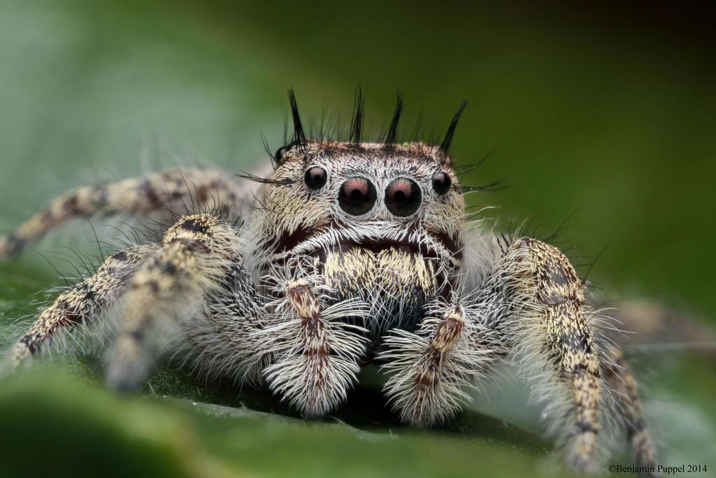 Female Phidippus putnami Jumping Spider by BenjaminPuppel