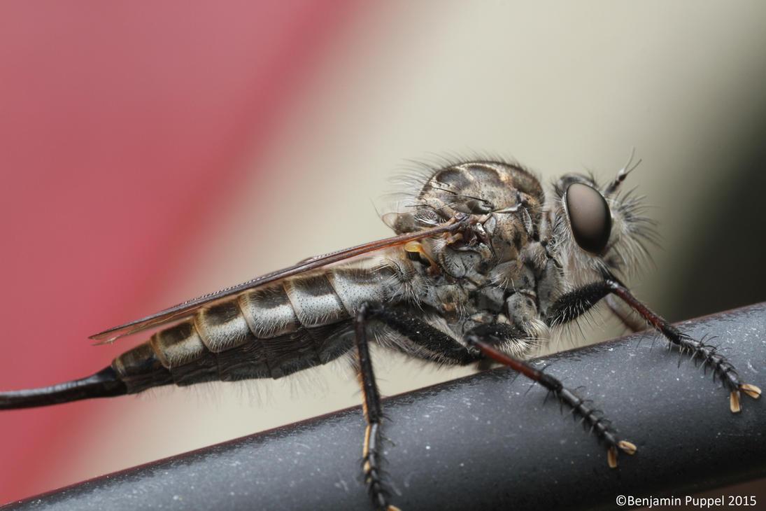 Robber Fly (Asilidae) by BenjaminPuppel