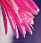 Drops on pink
