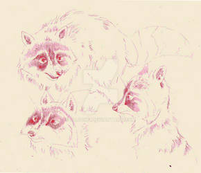 Sketches: Raccoon