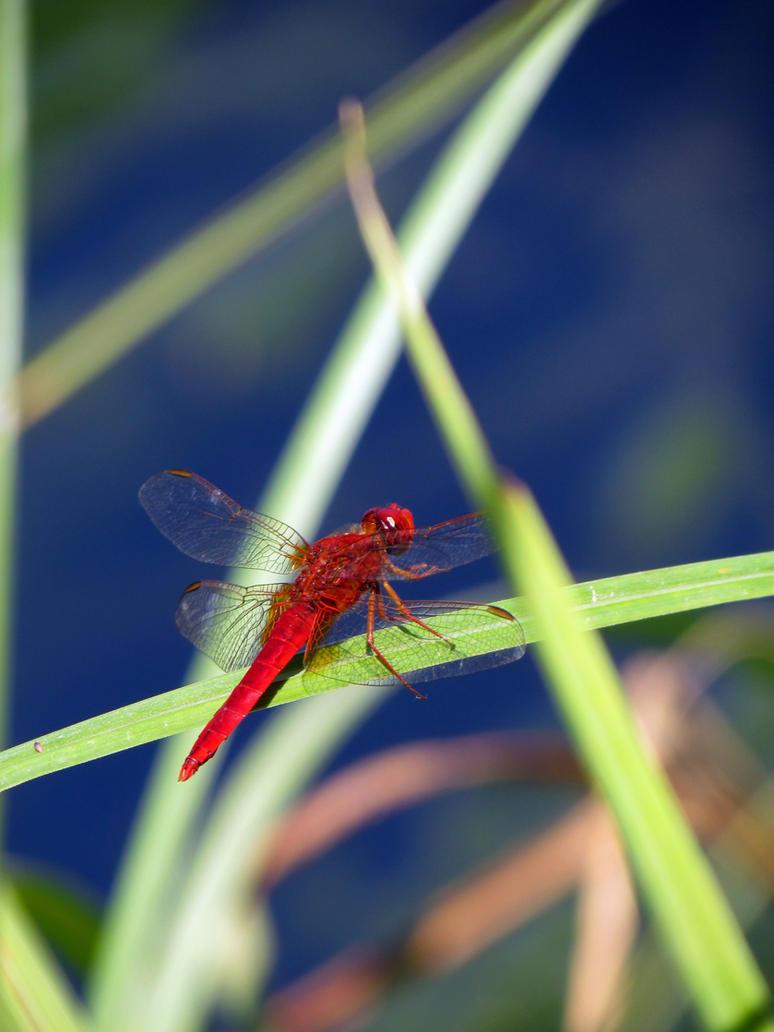A Dragonfly by Sasa-Van-Goth
