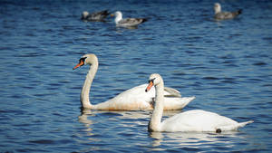 Swans and Seagulls