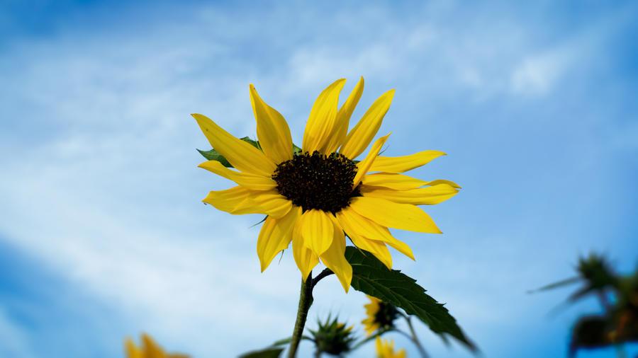 Sunflower by daenuprobst