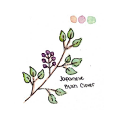 Japanese Bush Clover by AwkwardAltschmerz