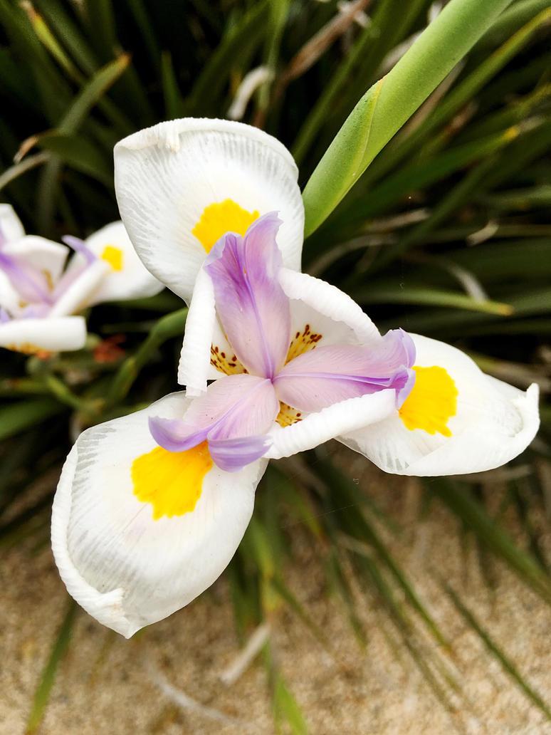African white iris by linlin7805 on deviantart african white iris by linlin7805 izmirmasajfo