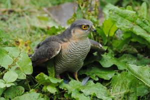 Sparrowhawk by DeathCults