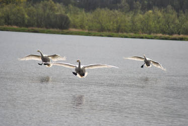 Landing Swans by DeathCults
