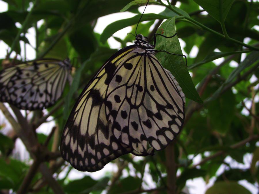 butterfly by Raaarrrrw