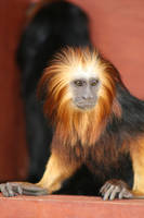 Golden-head Lion Tamarin by Hanwombat
