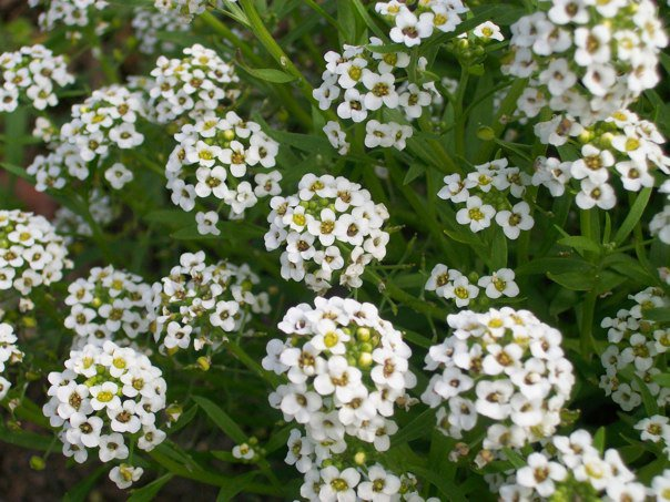 Tiny white flower clusters by galadri on deviantart tiny white flower clusters by galadri mightylinksfo
