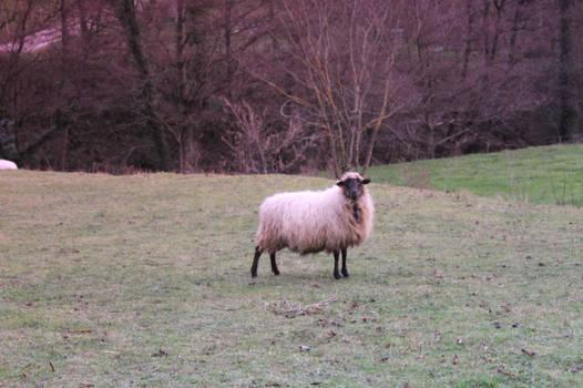 Sheep in field stock