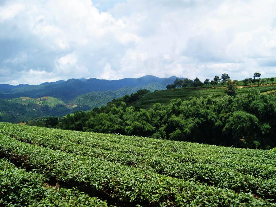 Tea Field by WillTC