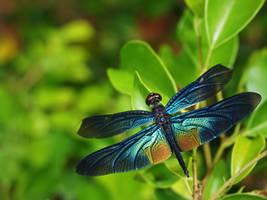 Rainbow Dragonfly by WillTC