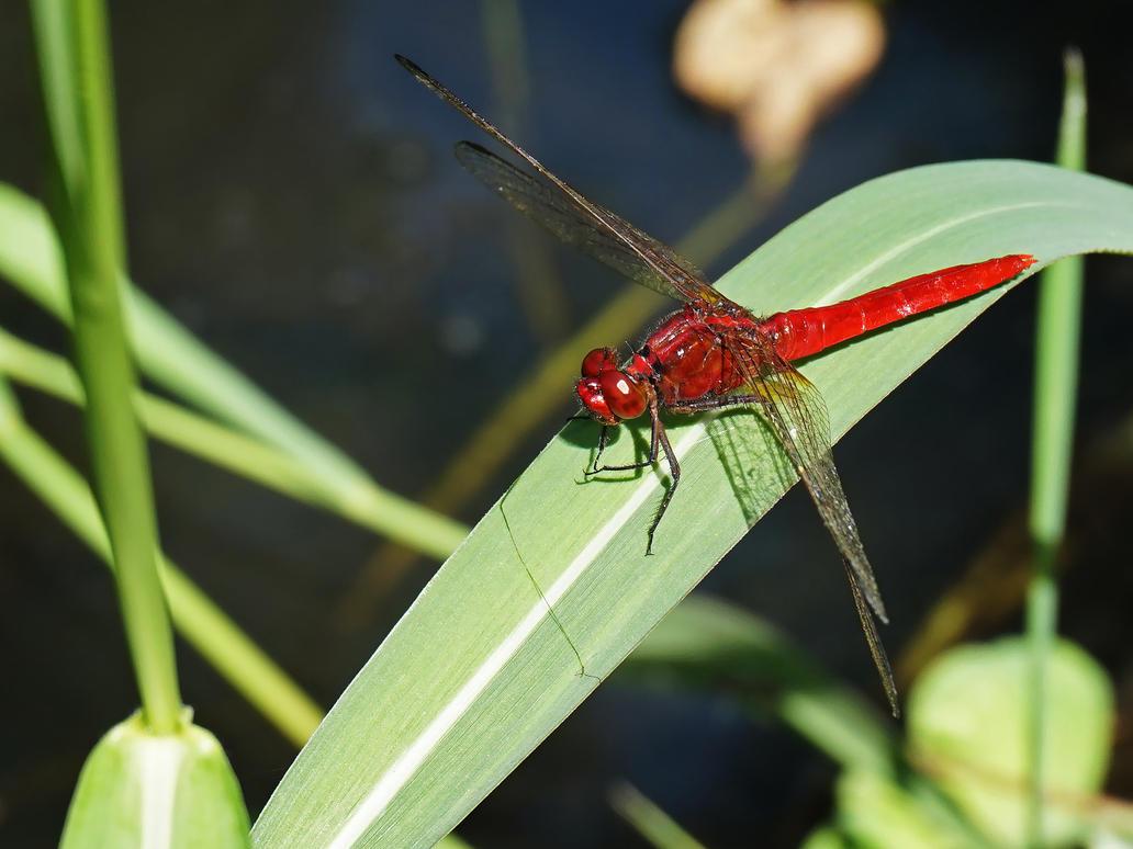 Scarlet Dragonfly by WillTC