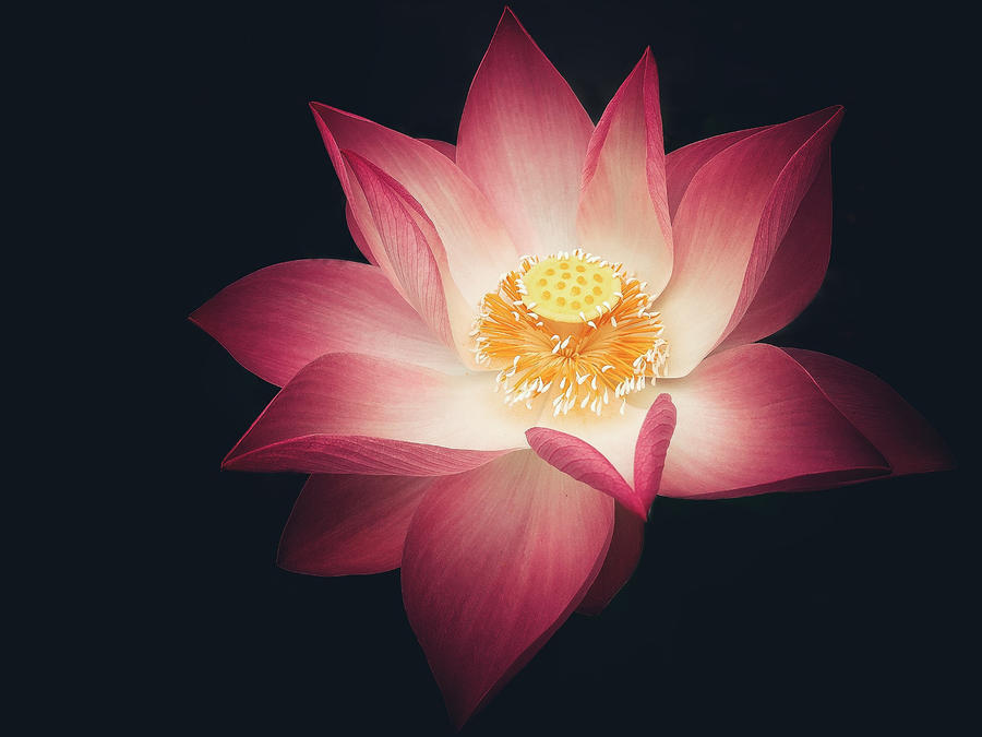 Love of Lotus
