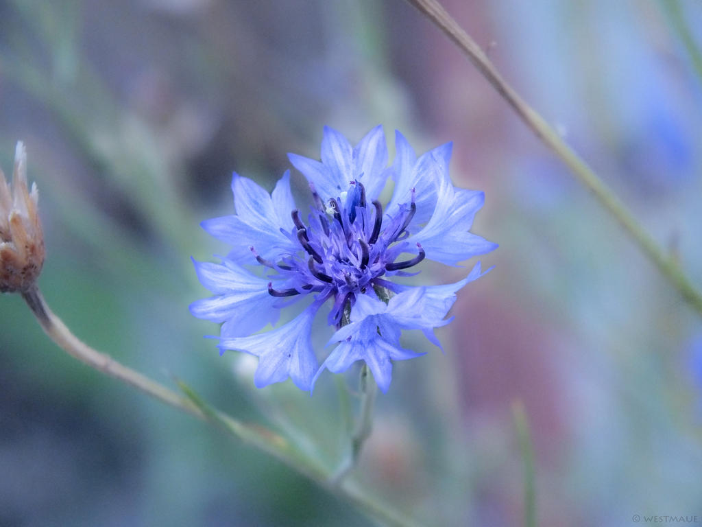 Centaurea cyanus by WestMauE