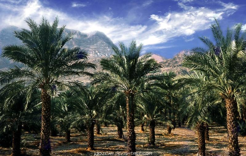 Date Palm Plantation near En Gedi by Woscha