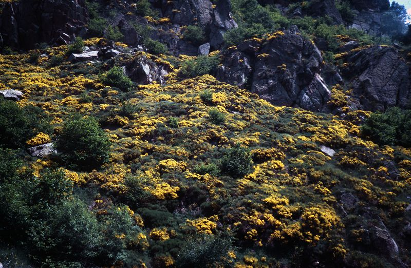 Blooming Broom - Col de Mantet - Pyrenees by Woscha