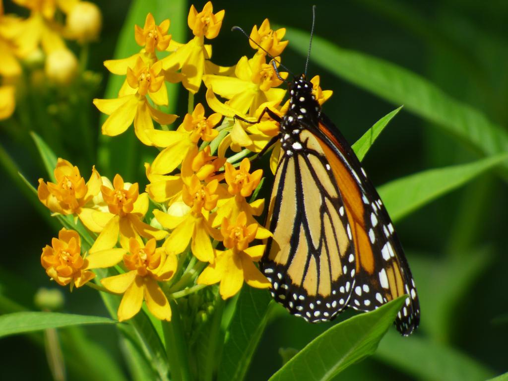 monarca3 by zoovida20