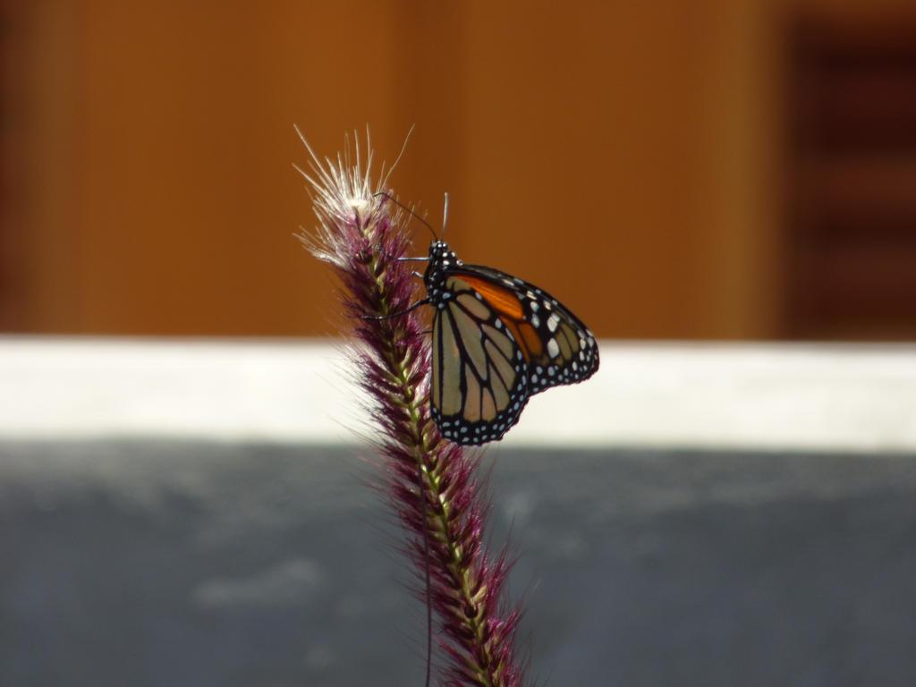 monarca4 by zoovida20