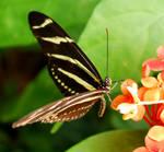 Zebra Longwing Butterfly by SoCallMeNothing