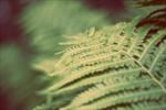 Pteridophyte