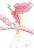 Misc - Lesser Bird of Paradise by caat