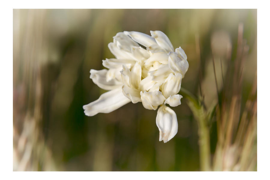 White Beauty By The Fields by AndersStangl