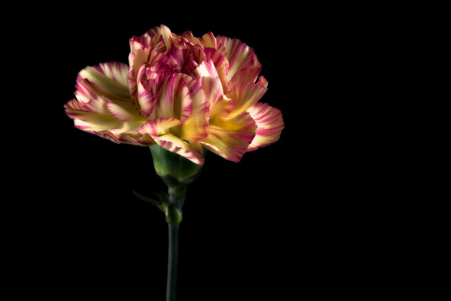Carnation Yellow And Red [Volume Two] by AndersStangl