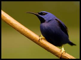 Blueberry by Svenimal