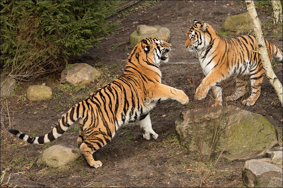 tigers on all big cat artists deviantart. Black Bedroom Furniture Sets. Home Design Ideas