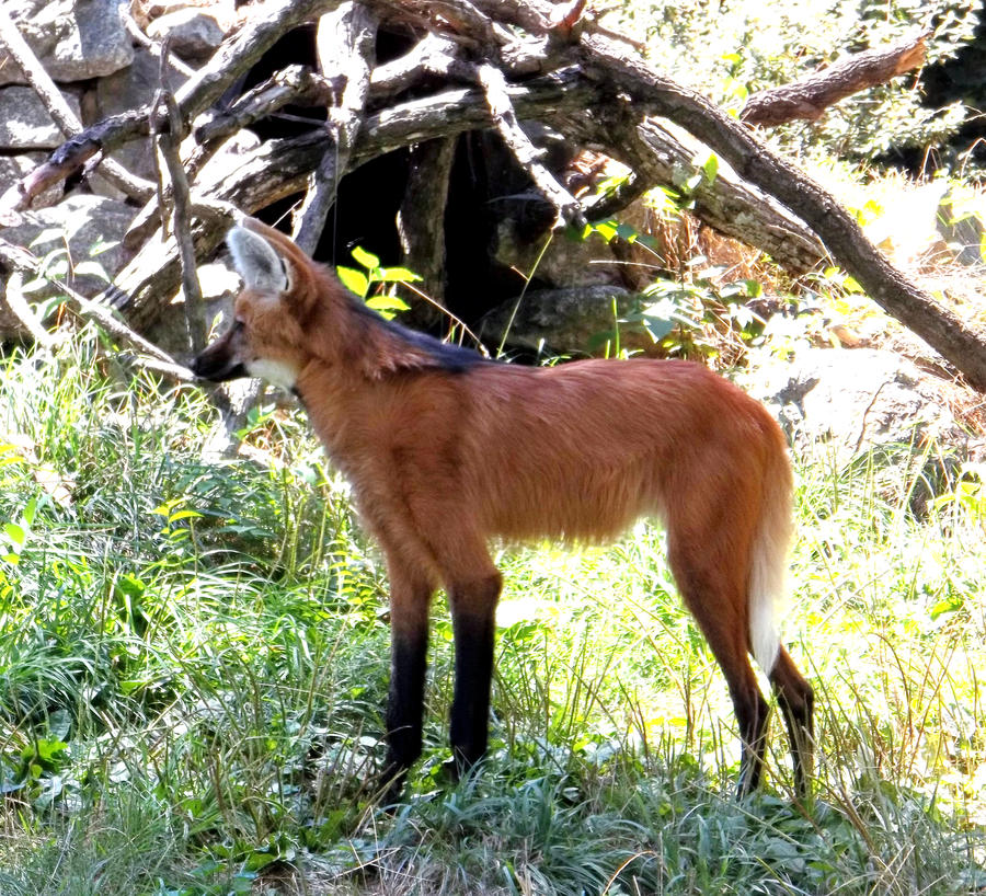Maned Wolf Pictures Maned Wolf by Dogboy09