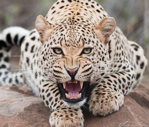 Leopard - Roaring-leopard by thormanoftunder