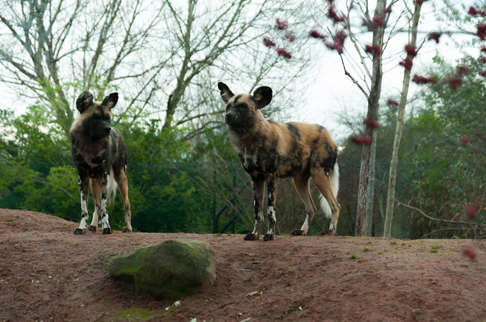 wild dogs by 1shewolf1