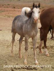 Foal 02 by dappledstock