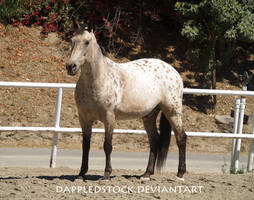 Appaloosa 01 by dappledstock
