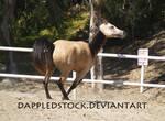 Buckskin Arabian 01