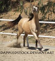 Buckskin Arabian 04 by dappledstock