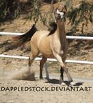Buckskin Arabian 04