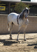 Andalusian 04 by dappledstock