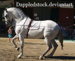 Andalusian 07