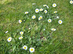 Garden Lawn Daisy
