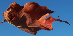 Fall Leaf 2 STOCK
