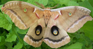 Buckeye Moth A. by Penny-Stock
