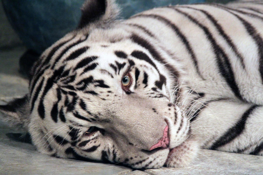 real white tiger face