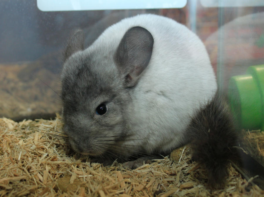 Chinchilla by heytherejustine