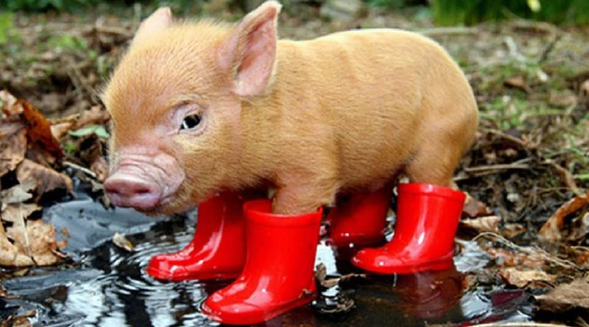 Micro Pig In Rubber Boots Real Life Peppa Pig By Liviusquinky On